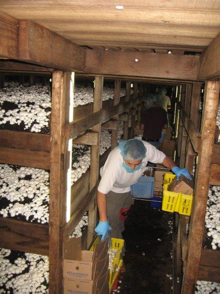 Tour Of Kaolin Mushroom Farm 2 28 15 Grower Dennis Melrath Served As Our Guide And Explained The Growing Process In Detail White Mushrooms Ready To Pick Pickers Doing Their Thing A Look At A Just Picked Bed Another Bed Another Bed Dumpster Full